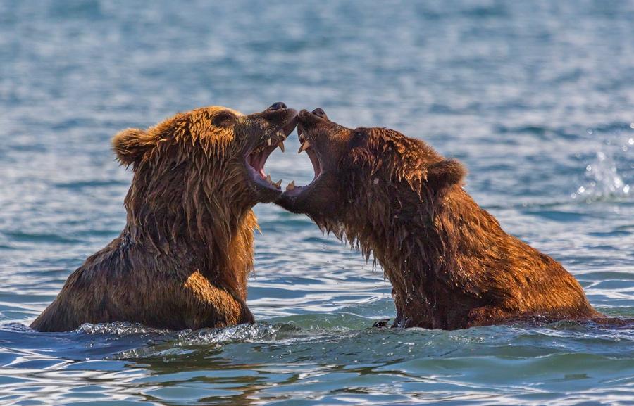 Deux ours s'affrontent dans le lac Kourilsi