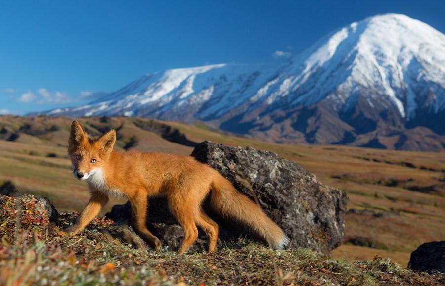 Un renard en ballade au Kamtchatka