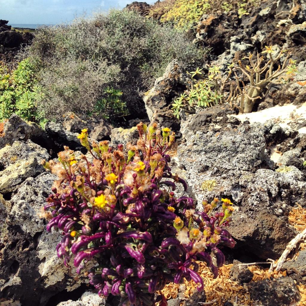Paysages semi-désertiques à Lanzarote