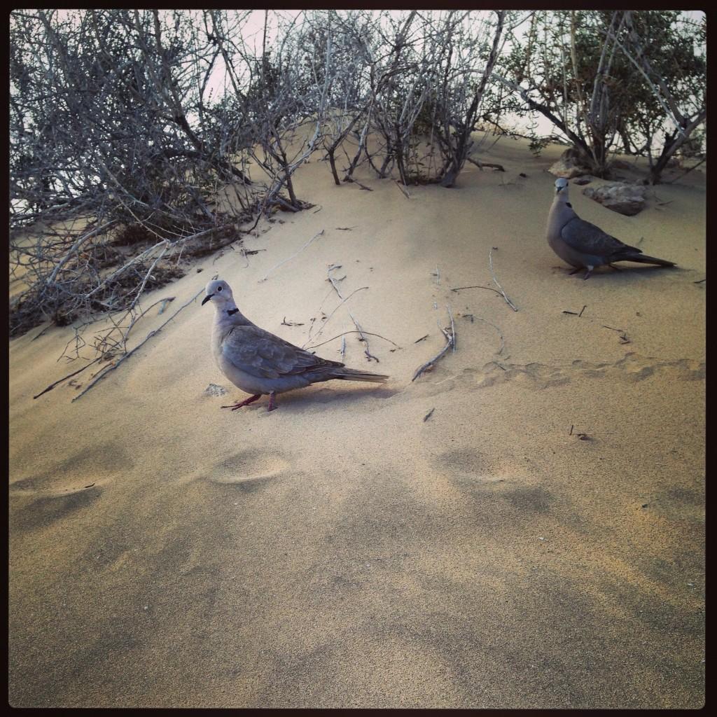 Deux pigeons se baladent dans les dunes de la plage la Barça
