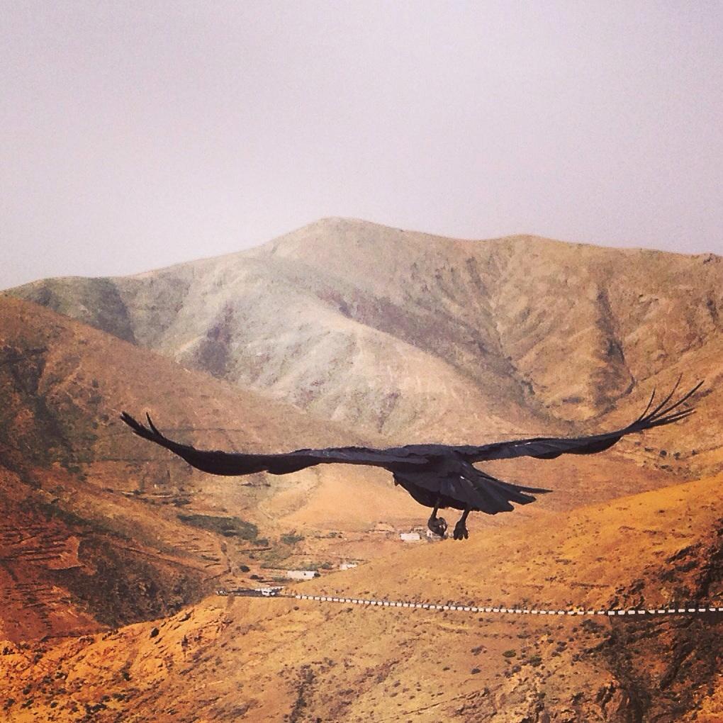 Un grand corbeau des Canaries survole un paysage désertique