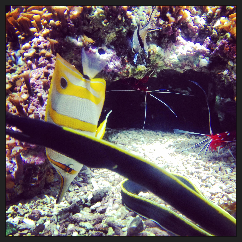 Une-mur%C3%A8ne-se-pr%C3%A9lasse-au-fond-dun-aquarium-de-la-Cit%C3%A9-de-la-mer Frais De Aquarium Avec Meuble Schème
