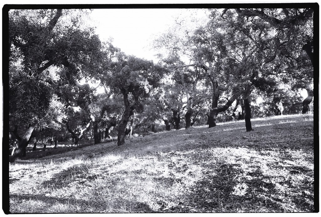Quelques chênes liège dans les hauteurs de la région de Huelva