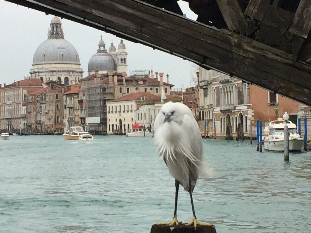 Un oiseau qui semble désorienté à Venise...