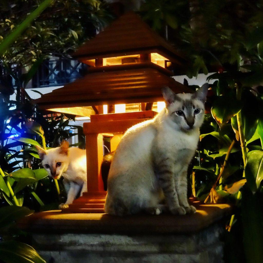 Les chats de Bangkok à la tombée de la nuit