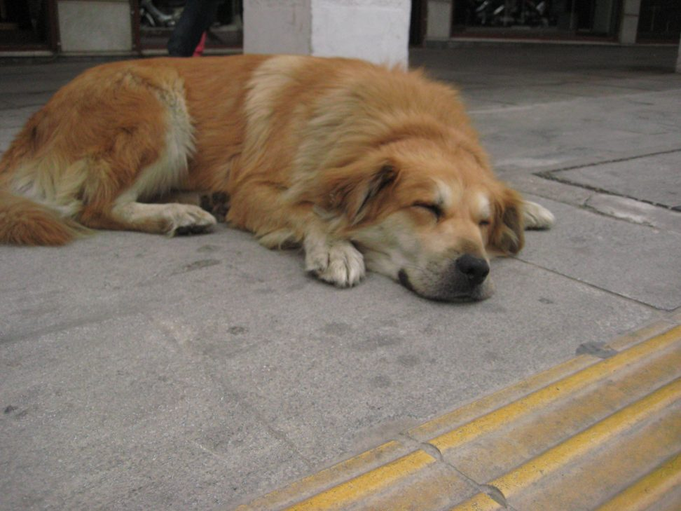 Un chien grec faisant la sieste