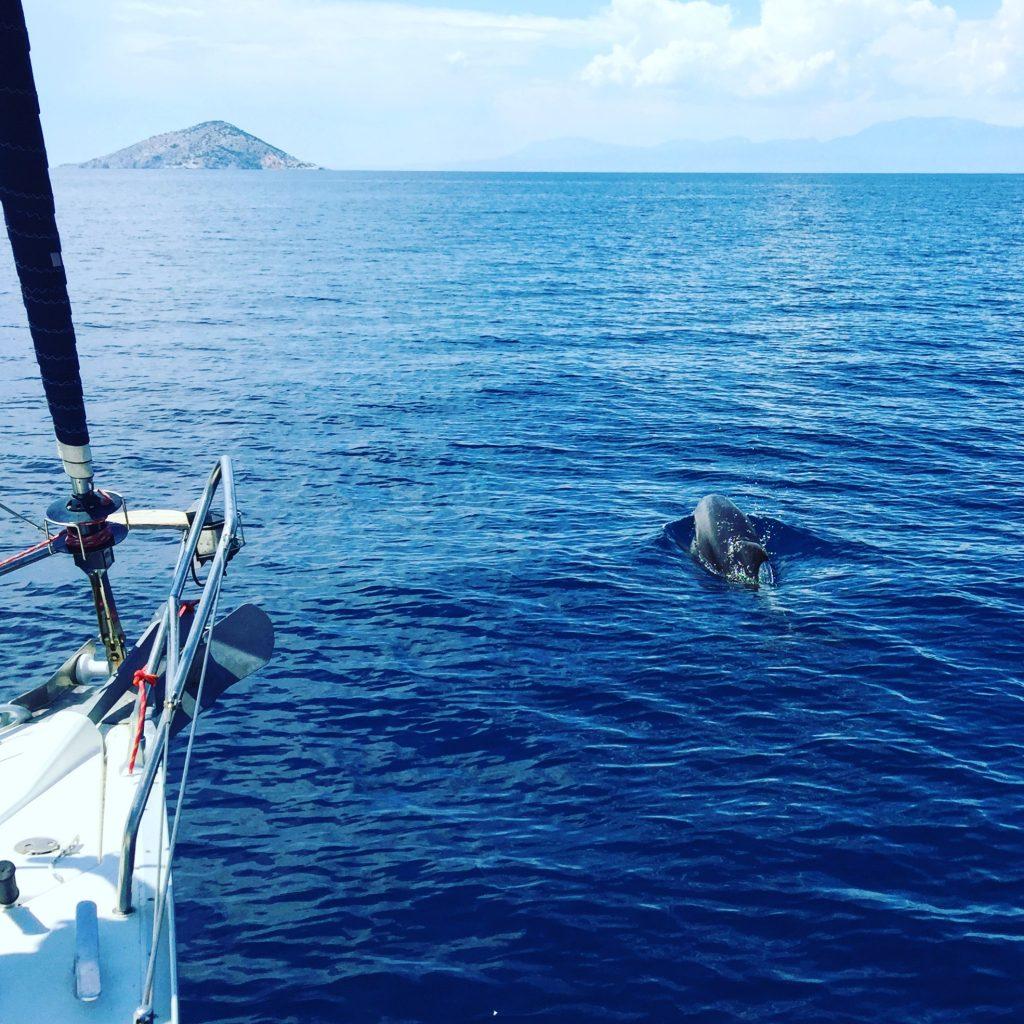 Un dauphin évolue calmement à l'avant de notre voilier
