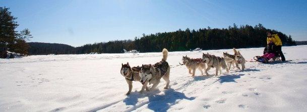 Des chiens de traîneau enivrés par le voyage et les grands espaces