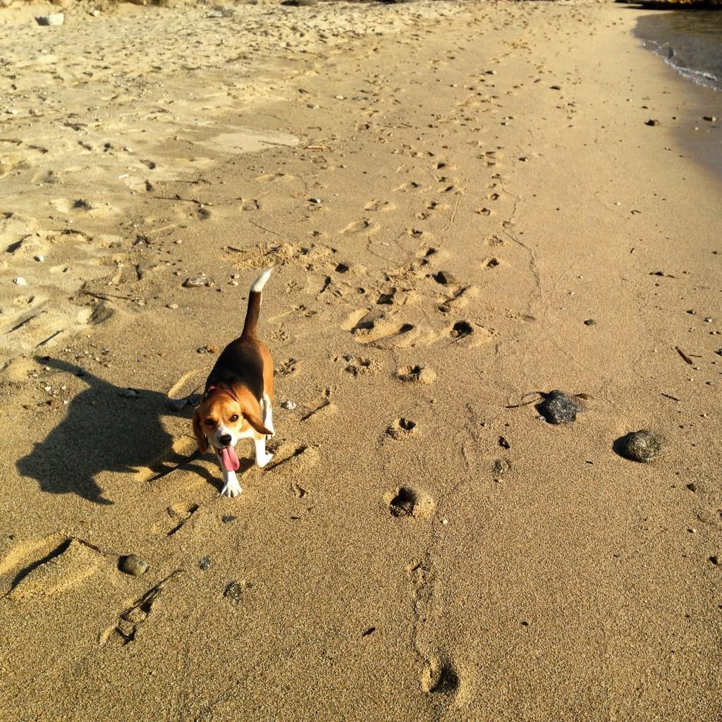 Un chien se ballade sur une plage de Mykonos