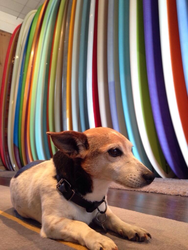 Un chien local surfer à Bidart