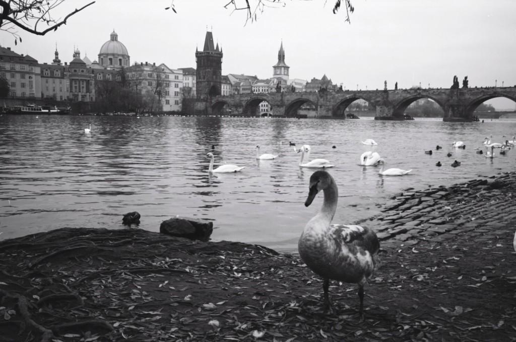 Le Pont Saint-Charles en arrière plan et un jeune cygne essaye de se mettre en avant