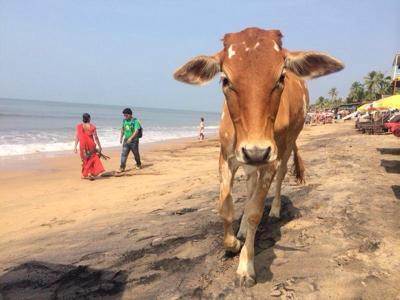 Une vache se ballade sur la plage