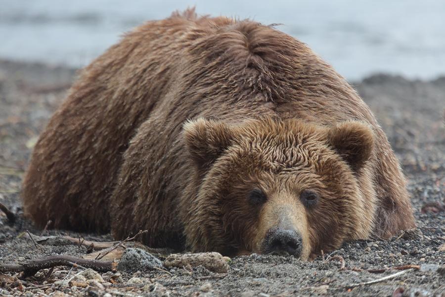 Les ours sont très nombreux au Kamtchatka