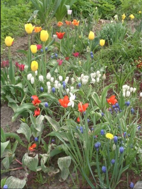 Quelques tulipes fleurissent après l'hiver russe