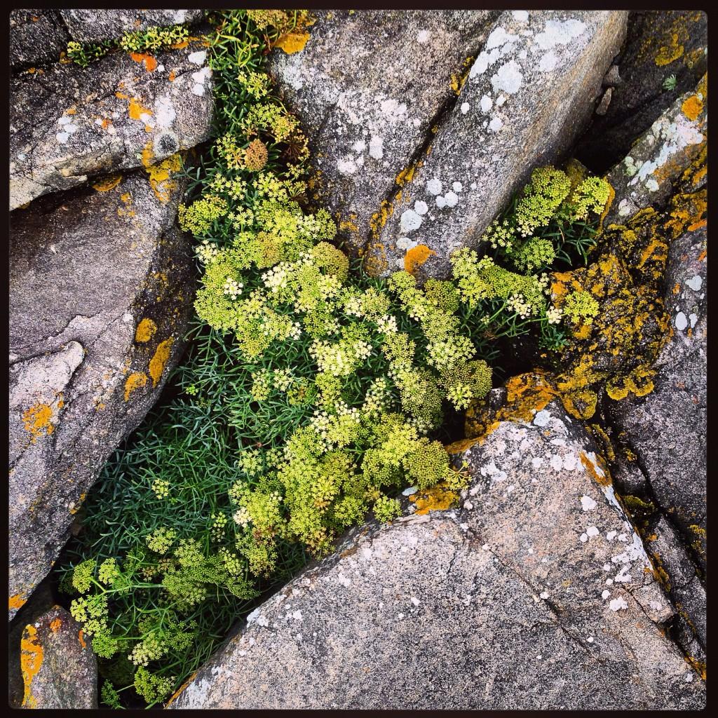 Flore bretonne entre granit et eau de mer salée