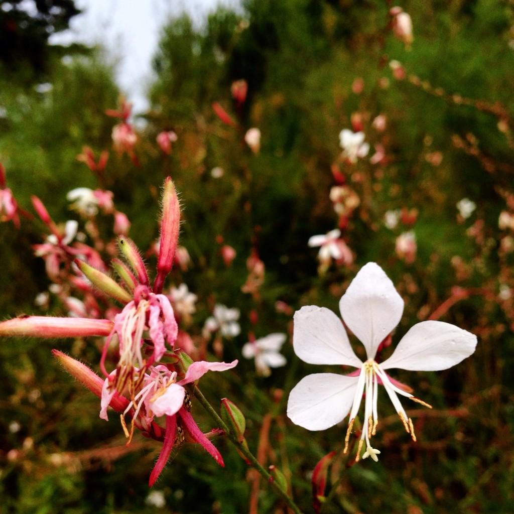 Une fleur toute frêle et fragile le temps d'un été breton