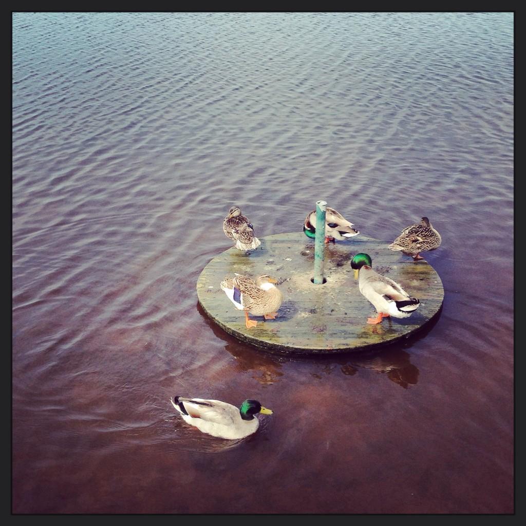 Une bande de canards fait sa toilette