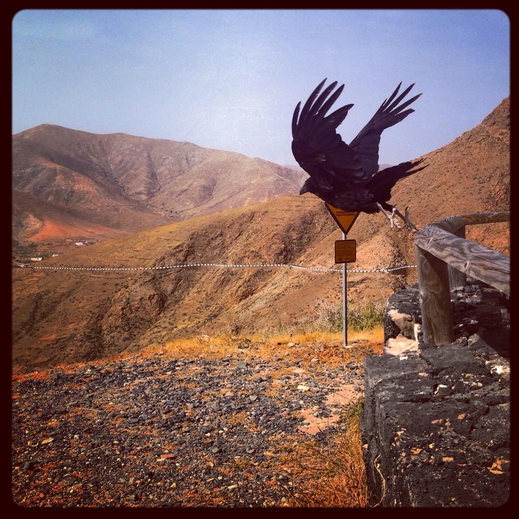 Un grand corbeau des Canaries prend son envol