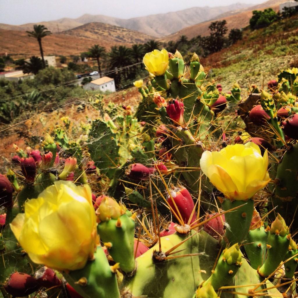 Des cactus en fleur à Bétancouria