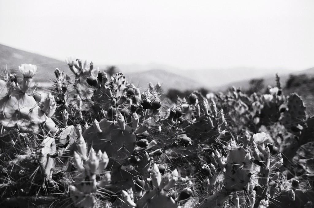 Cactus à Bétancouria