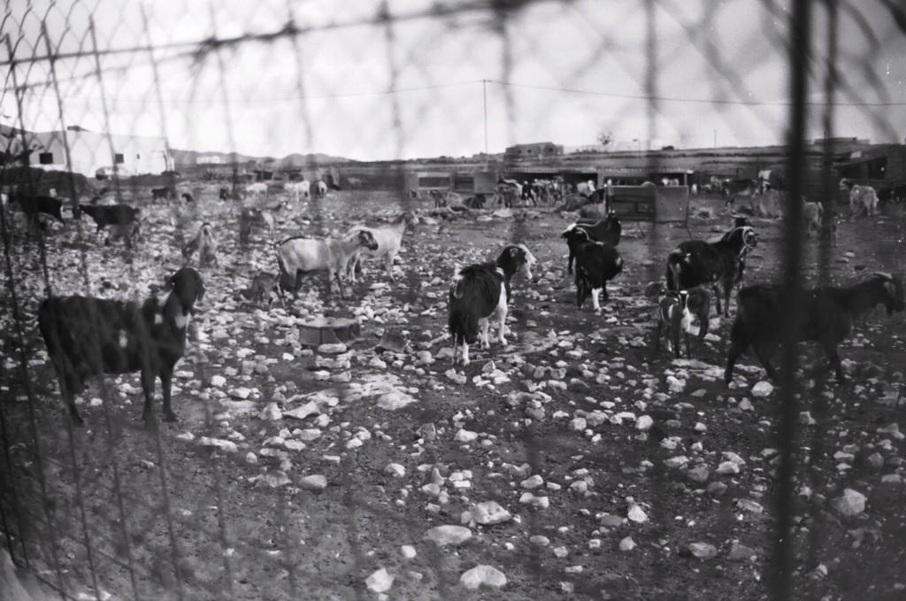 Un élevage de chèvres au nord ouest de l'île
