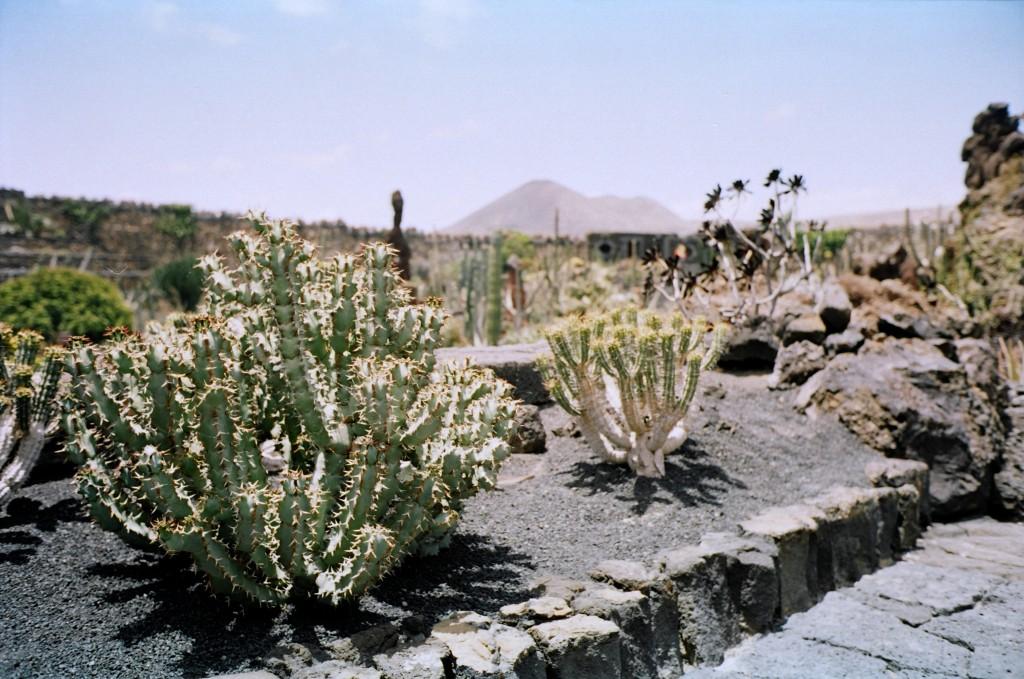 Cactus à Lanzarote