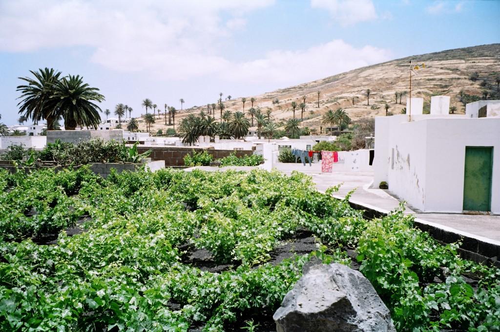 L'agriculture à Lanzarote prend une place très importante