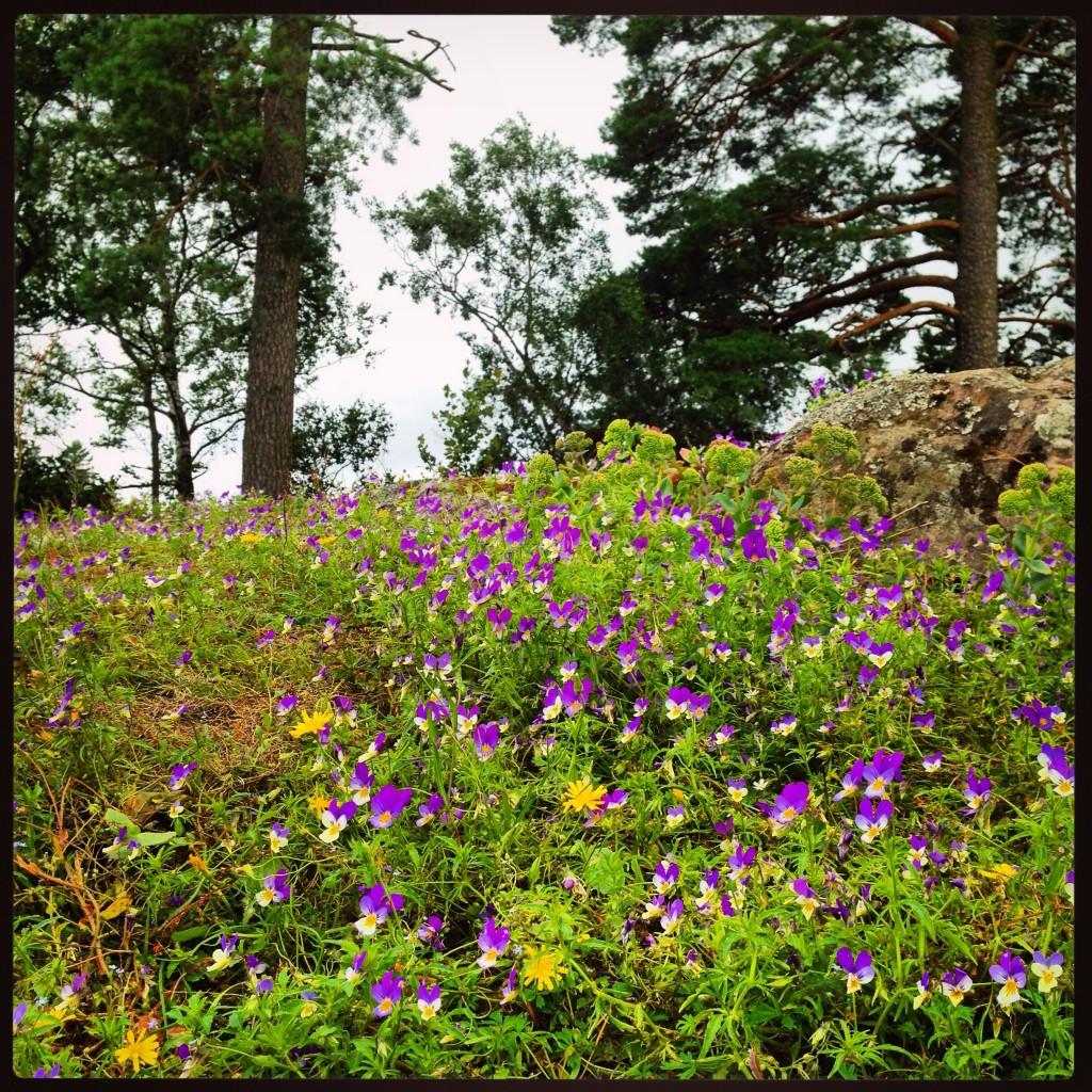 27. Quelques violettes aux abords d'un sous-bois finlandais