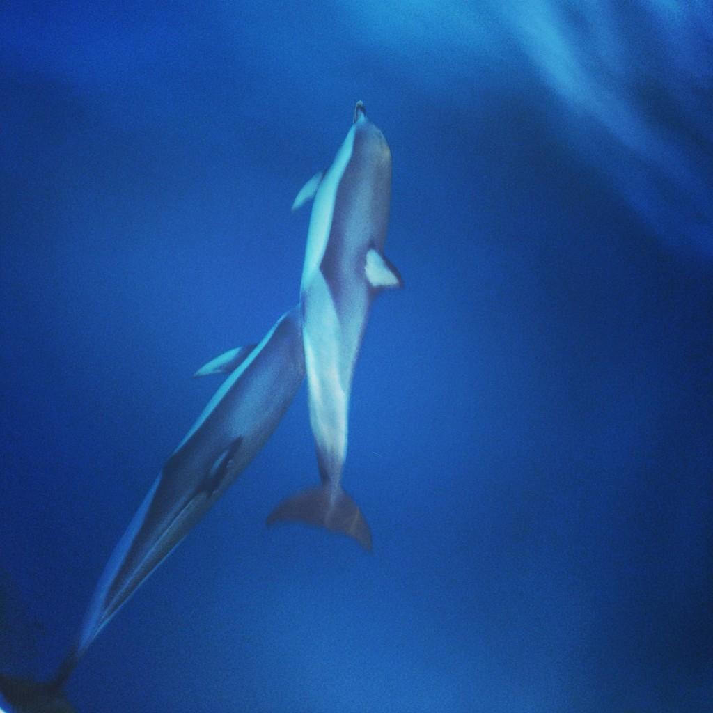 Des dauphins évoluent paisiblement en Grèce