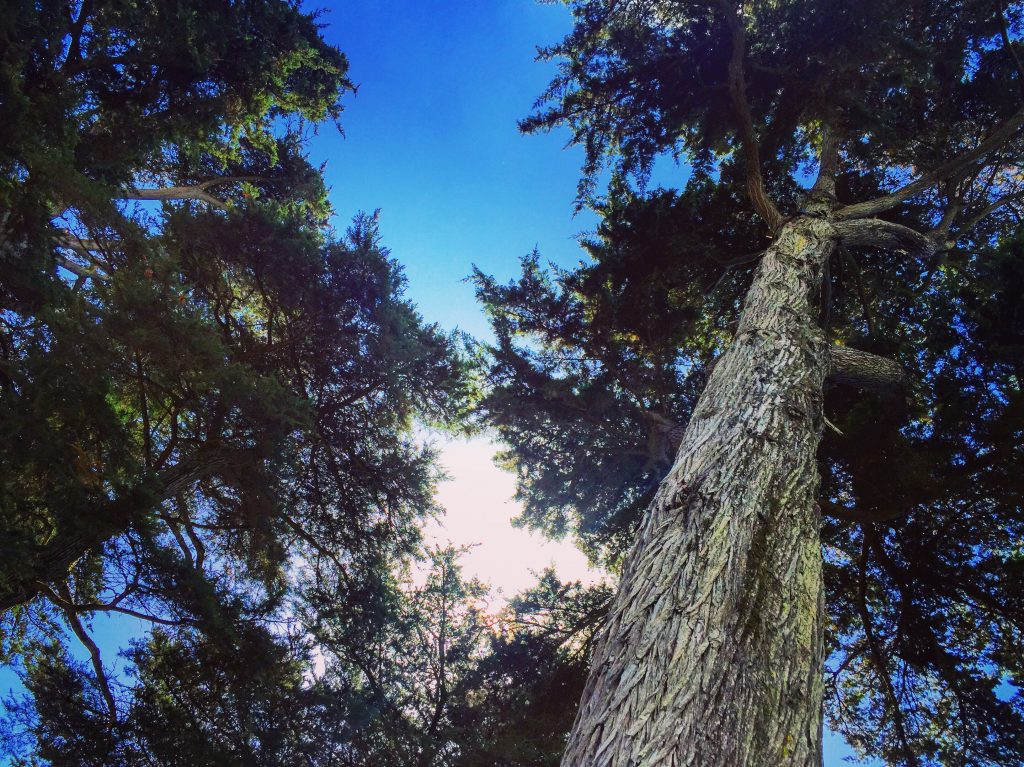 De magnifiques cèdres centenaires font de la résistance dans le bois du Pouliguen