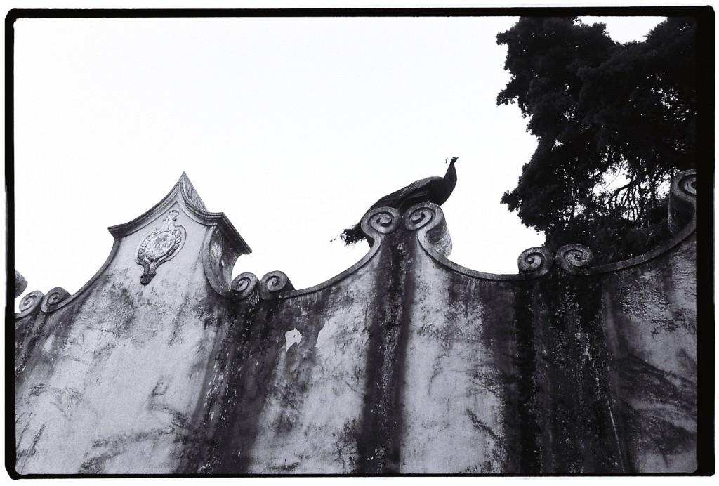 Des paons en liberté, se pavanent sur les murailles du château, Lisbonne