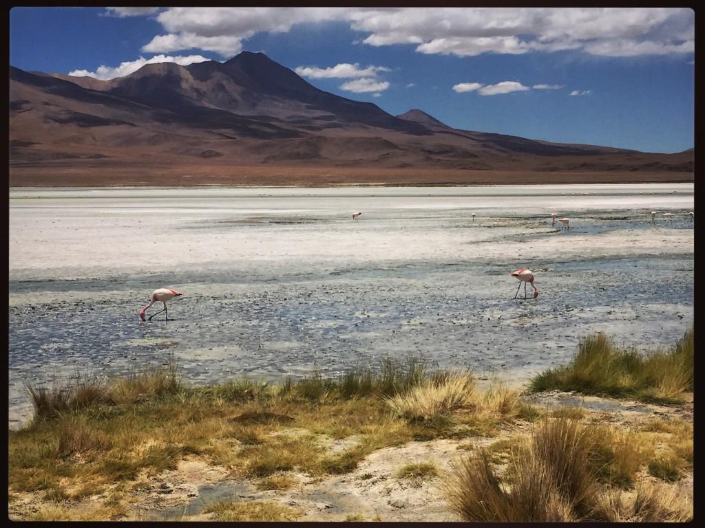 Laguna Chiarcota. Les flamands roses mangent en moyenne 17 heures par jour.