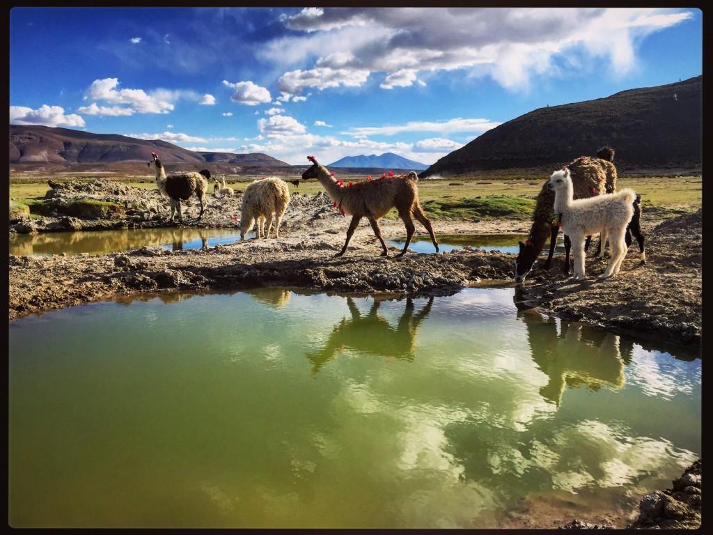 Un élevage de Lamas dans le sud de la Bolivie