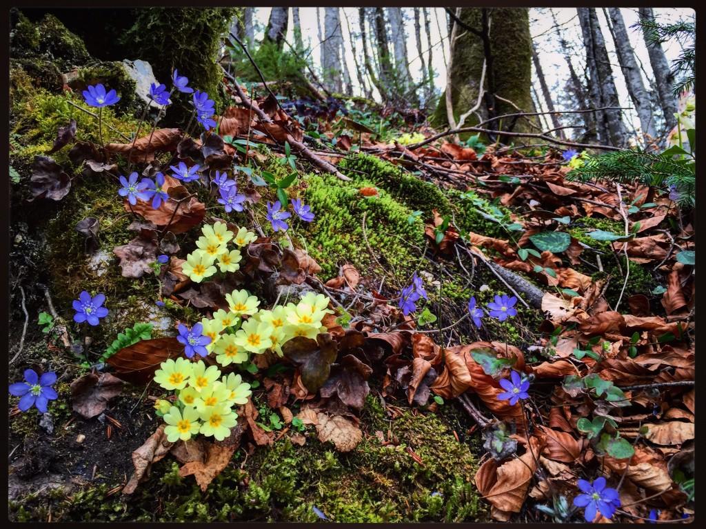 De petites fleurs annoncent discrètement l'arrivée du printemps