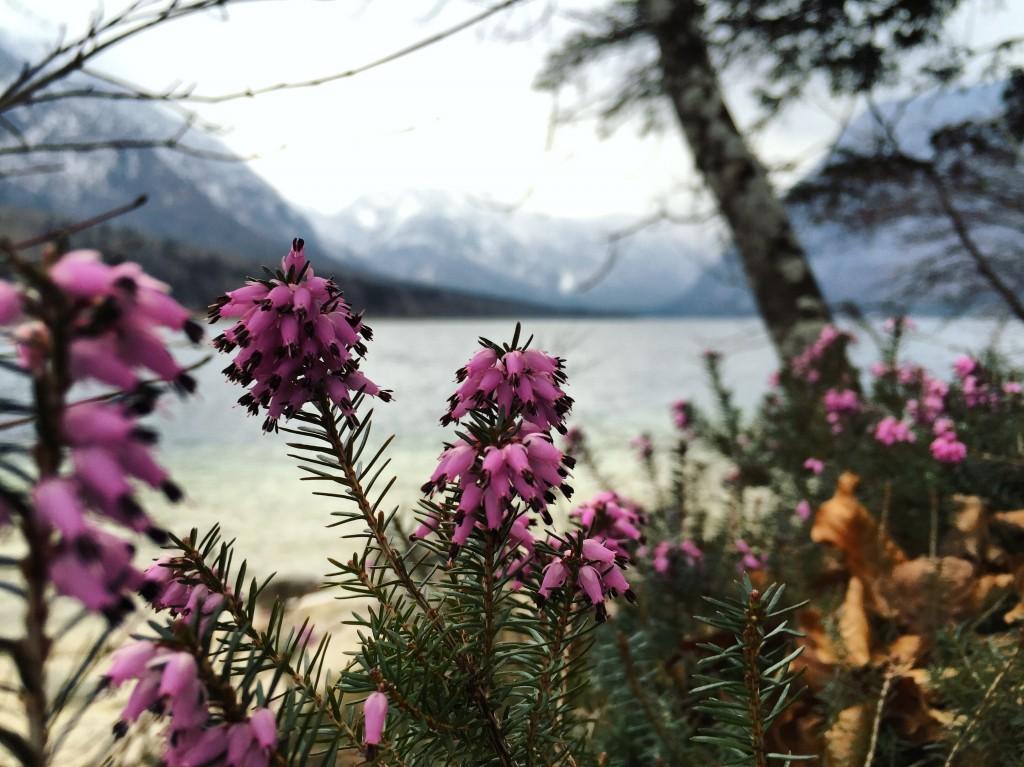 Quelques brins de bruyère au bord du lac de Bohinj en Slovénie