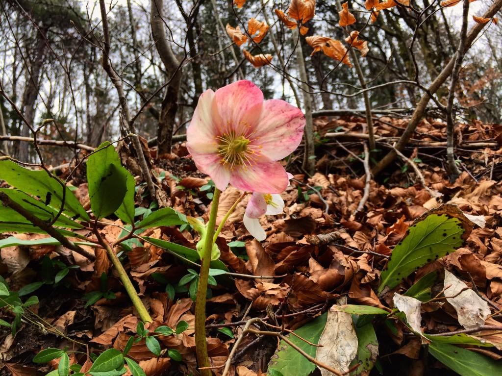 Une fleur dans les sous bois ...