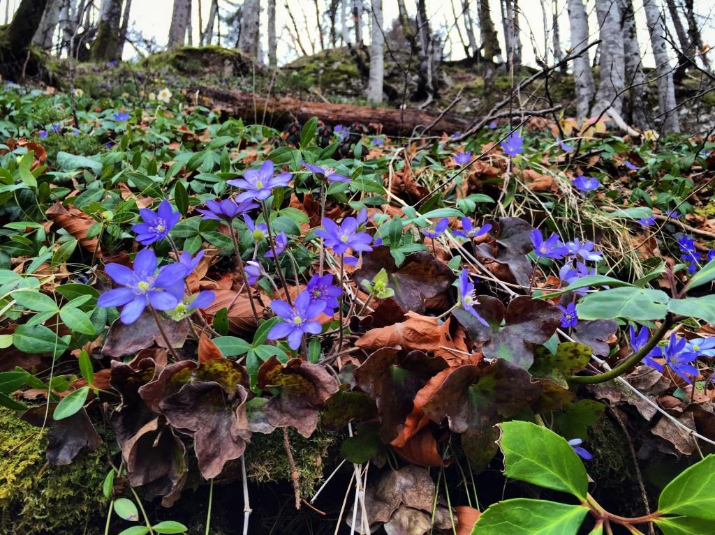 Des violettes annoncent l'arrivée du printemps.