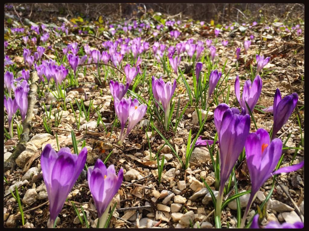 Plus les jours de printemps passent, plus les fleurs deviennent audacieuses.