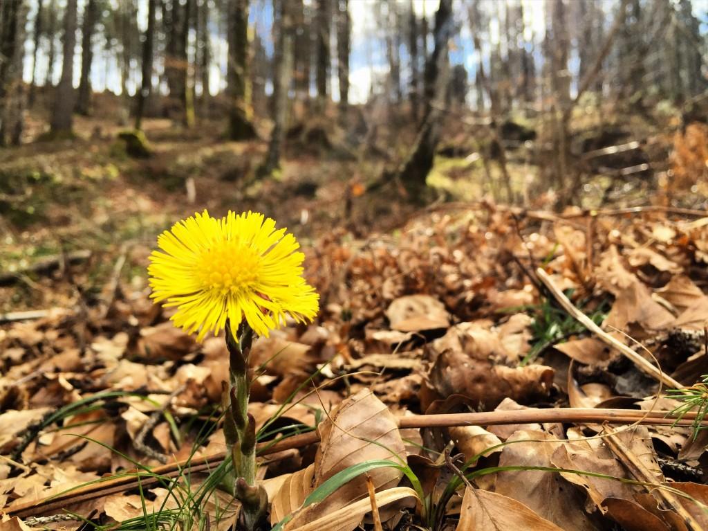 Fleur des bois, Slovénie.