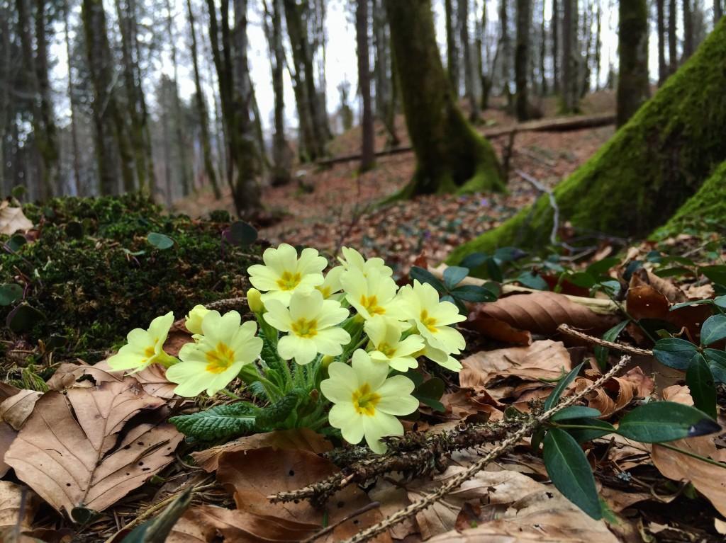 Des petites fleurs dans les sous-bois slovènes