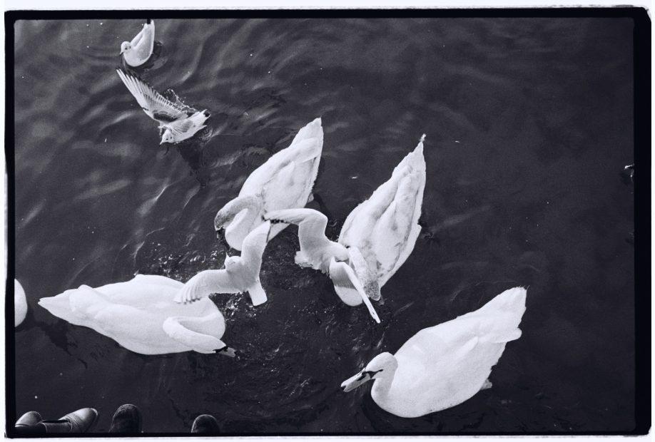 Quelques cygnes, mouettes et autres canards le long du Grand Canal à Versailles
