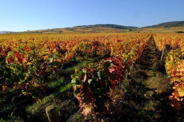 Les vignes en automne, un moment suspendu dans le temps