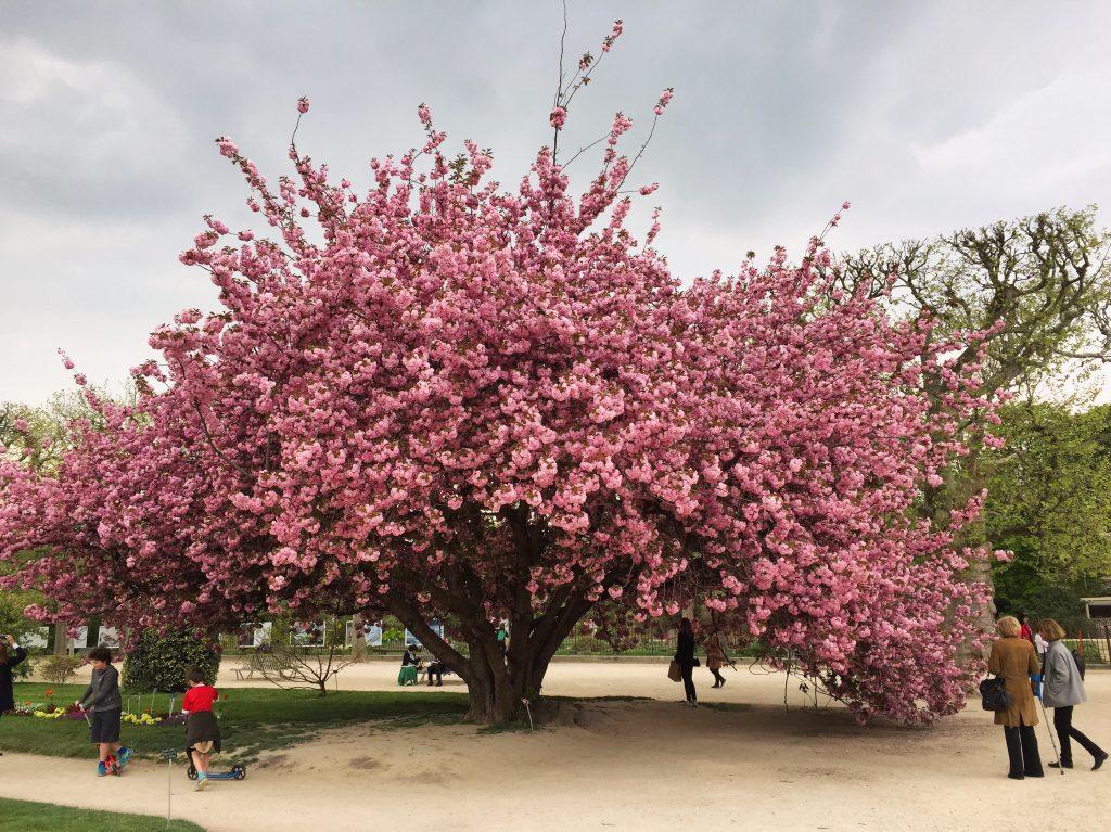 Un splendide prunus au jardin des plantes