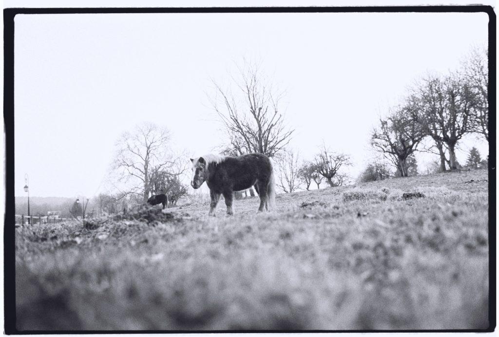 Un poney broute paisiblement dans le pays d'Auge en Basse Normandie