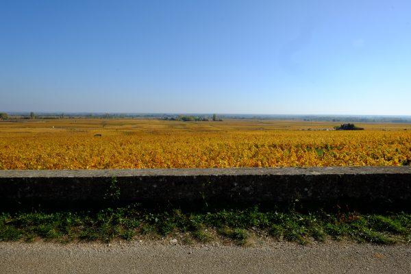 Des vignes à perte de vue en Côte d'Or forment une immense étendue dorée