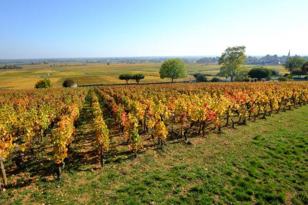 Les vignes à Volnay sur la côte de Beaune