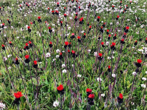 Un champ de fleurs en été, Islande