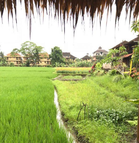 L'une des rizières à Ubud sur l'île de Bali en Indonésie