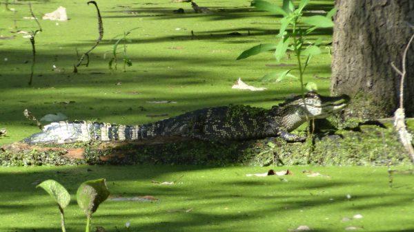 L'alligator un animal très dangereux