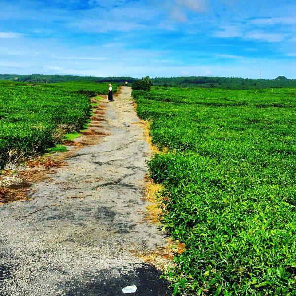 Les plantations de Thé de Bois Chéri à l'île Maurice